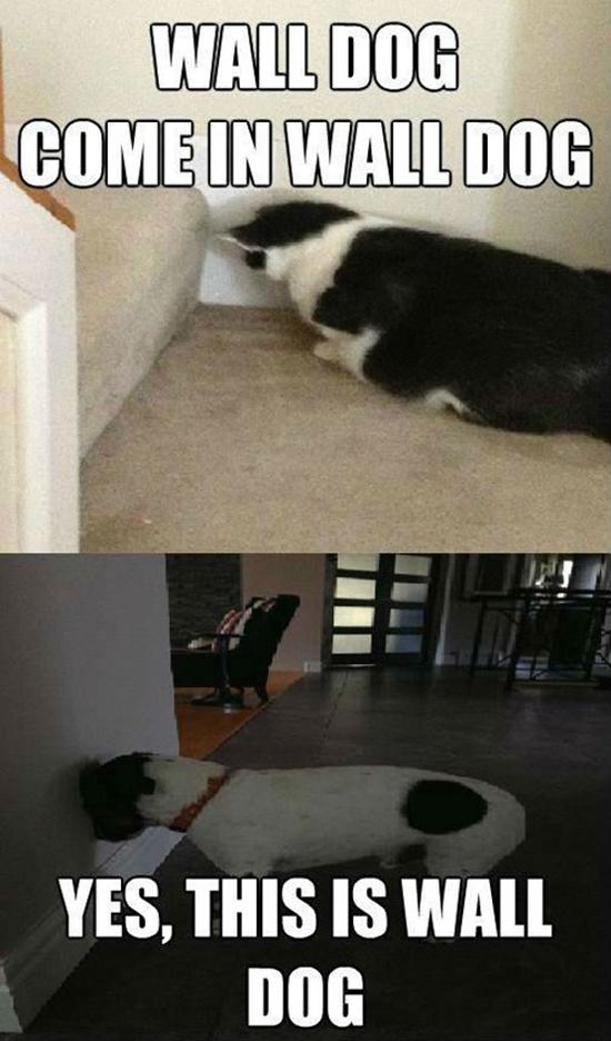 Wall Dog - Funny Memes